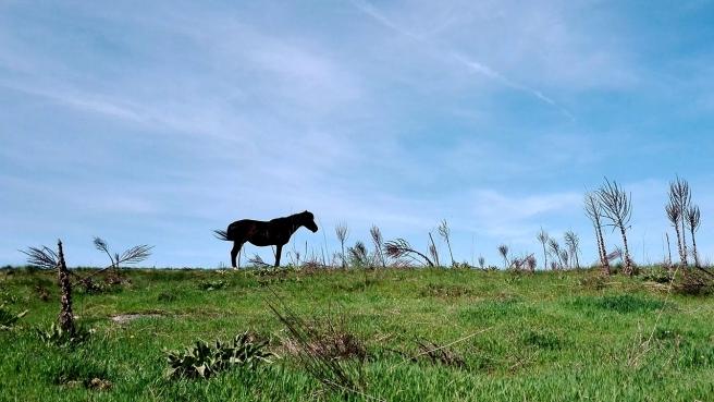 bulgarian horse